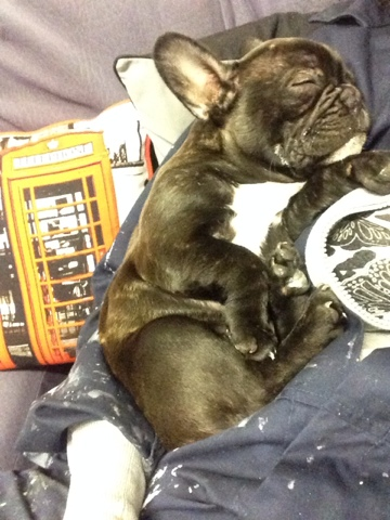 Milo French Bulldog