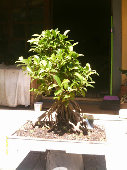 Ficus Microcarpa var. Indica... - Página 2 IMAG0386