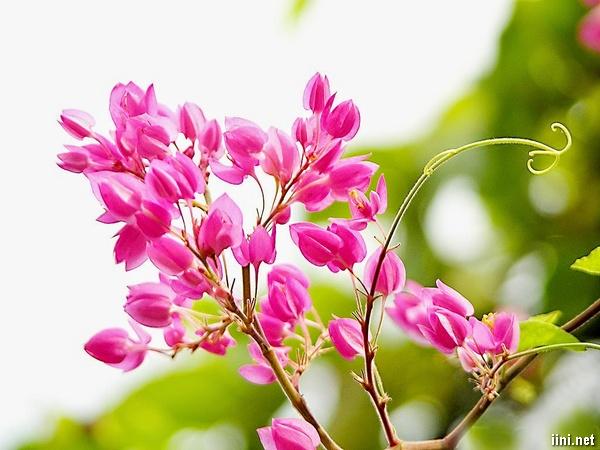 thơ về hoa tigon