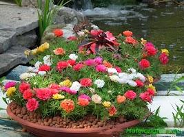Hướng dẫn chăm sóc hoa mười giờ mỹ