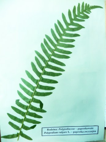 Paprotka zwyczajna Polypodium vulgare okaz zielnikowy