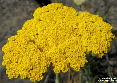 floare de coada soricelului galbena