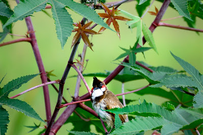 10-Sep-2011 Red-whiskered Bulbul Pic: Sudhir Singh