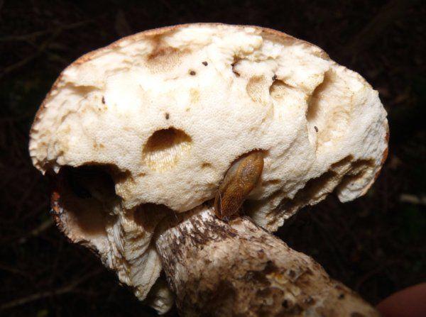 unknown bolete being eaten by a slug