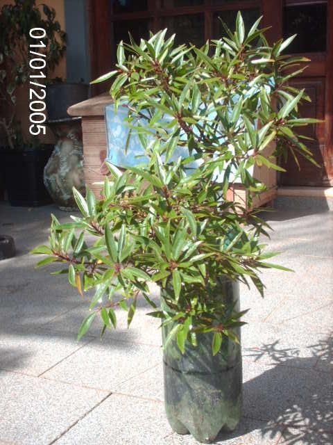 Ficus Nerifolia, Uma raiz de 3 anos... PICT0746