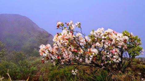 hoa do quyen pha luong pys travel002 Mộc Châu tháng Tư   Hoa đỗ quyên nở rộ Pha Luông