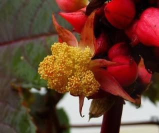 Rącznik pospolity kwiatostan kwiat