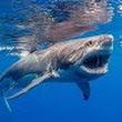 Shark D