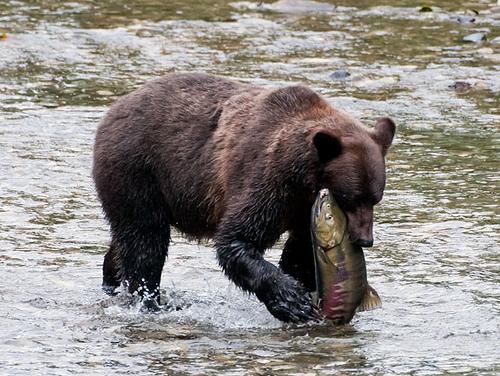 Urso pardo vs Urso polar 7