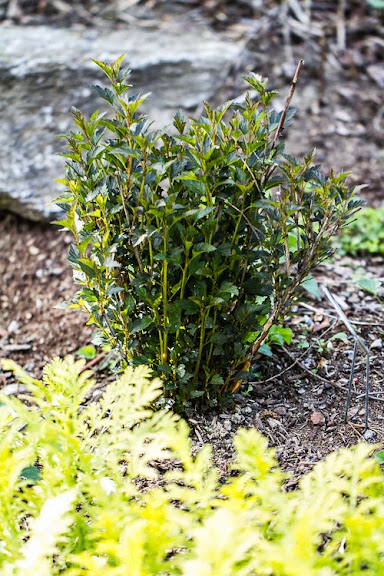 Physocarpus Little Devil Physocarpus-little-devil-130604-2rm