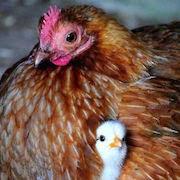 К чему снится курица с цыплятами?