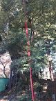 東京都指定天然記念物 阿蘇神社のシイ 。平将門を討った藤原秀郷が天慶3年(940年)頃に植樹した。@@@288@@@512