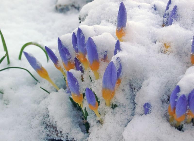 Ảnh đẹp hoa xuyên tuyết