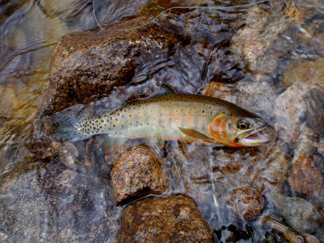Greenback Cutthroat on tenkara