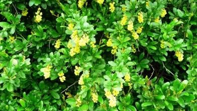 Berberys zwyczajny Berberis vulgaris