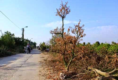 """Một cây quất thế chết khô dựng ven đường.Hơn 20 làm nghề trồng quất, ông Nguyễn Văn Chính (50 tuổi, Tứ Liên) cho biết: """"Tôi chưa từng thấy năm nào cây chết nhiều như năm nay. Gia đình tôi có khoảng 800 gốc thì 100 gốc đã hỏng và chặt bỏ, 300 gốc còn lại phải ngắt hết quả để cứu cây""""."""