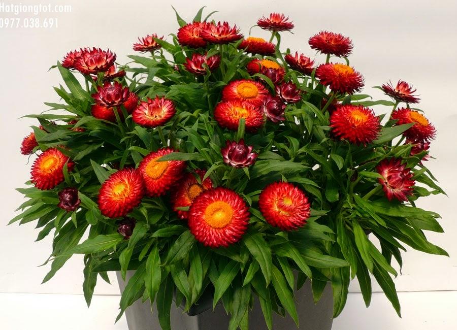 Hoa cúc bất tử