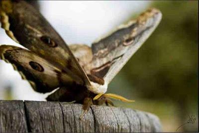 mariposa gran pavon efimera