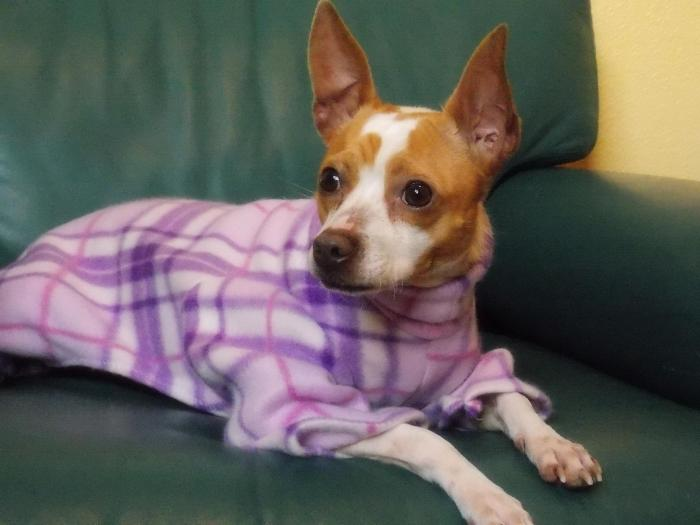 white and light brown chihuahua sitting on a green leather chair, wearing purple plaid fleece pjs
