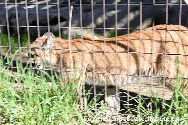 tiger at Folsom Zoo