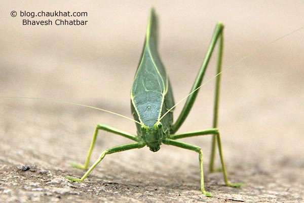 Front view of a Green Leaf Grasshopper in simple language. Greater Anglewing Katydid is the real name. Microcentrum rhombifolium is the scientific name. Phylloptera rhombifolia, Orophus rhombifolia, Microcentrum affiliatum Scudder are the synonyms. Tettigoniidae is the species family name.