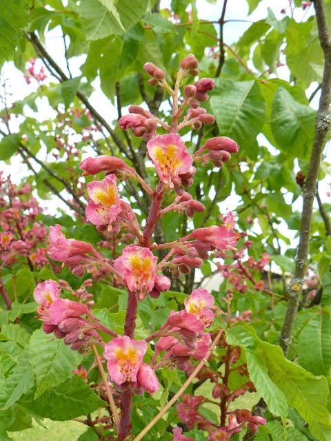 Des floraisons au jardin ... P1030256