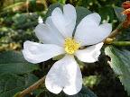 白色 一重 平開咲き 小輪