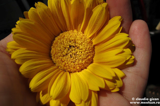 floare galbena de gerbera