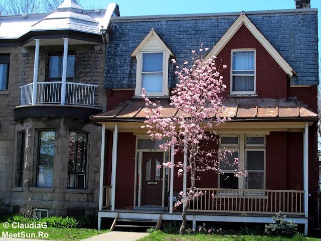 Montreal. Primavara. Magnolie roz