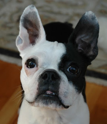 violet face facey boston terrier dog ate cookies
