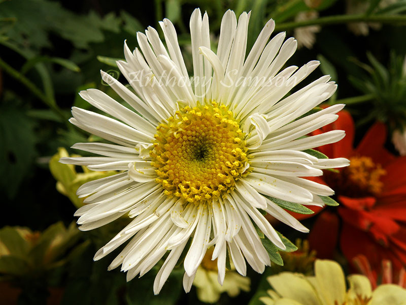 Beautiful blossom of Daisy