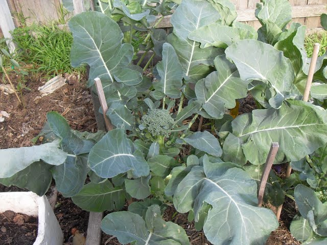 This Waltham Broccoli is growing well