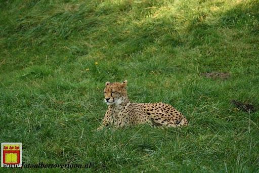 cheetahs vieren hun eerste verjaardag Zoo Parc Overloon (9) 11-11-2012.JPG