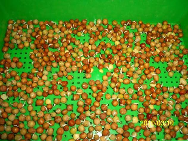 豌豆苗 豌豆嬰 豌豆蘡