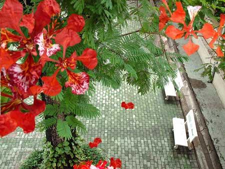 hoa phượng bên hàng ghế đá