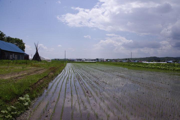 すくすく育つ有機栽培の稲たち