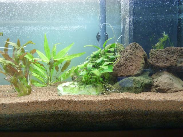 Ma petit histoire Aquariophile de 2009 à aujourd'hui  P1020572