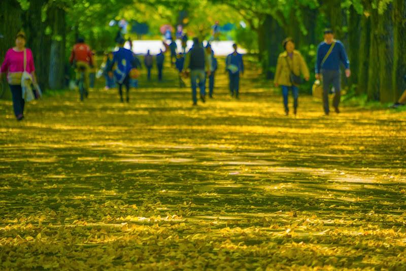 昭和記念公園 かたらいのイチョウ並木 写真4