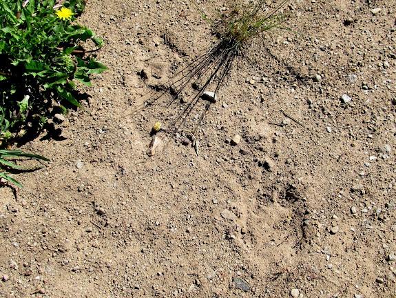 Bear tracks in dried mud