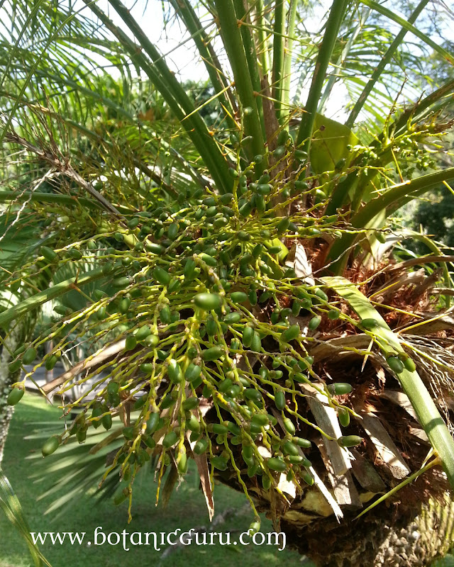 Phoenix roebelenii, Pygmy Date Palm, Dwarf Date Palm fruit