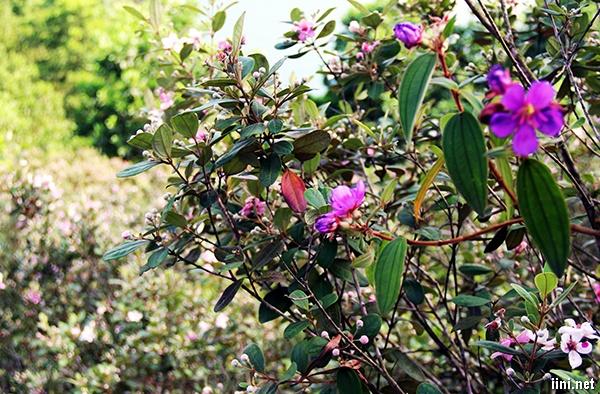 thơ tình mùa hoa sim