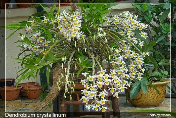 Hoàng thảo ngọc thạch dễ trồng và chăm sóc