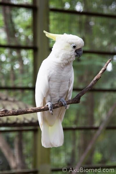 burung kak tua