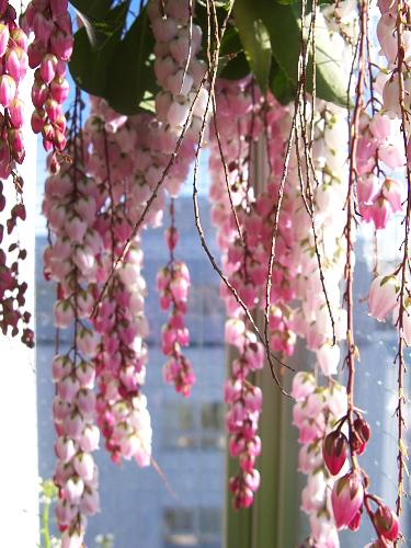 Japanese andromeda flower