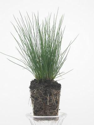 Festuca amethystina (Plug)