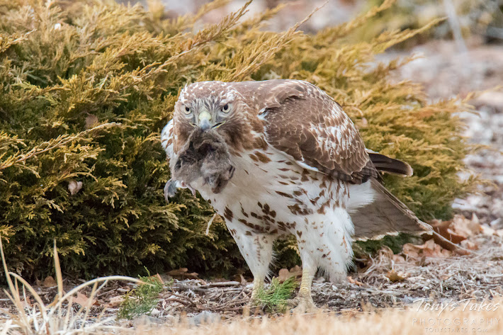 A juvenile Red-tailed Hawk hangs on tightly to its mouse lunch. (© Tony's Takes)
