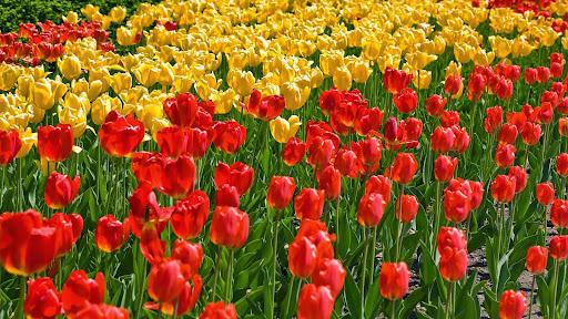 Spring Tulips, Ohio.jpg