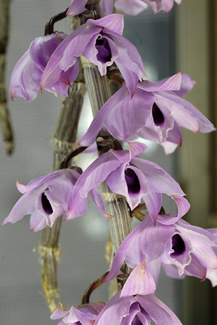 Orchids By Ross Dendrobium Anosmum 2011