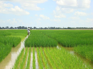 rice crop require good quantity of water