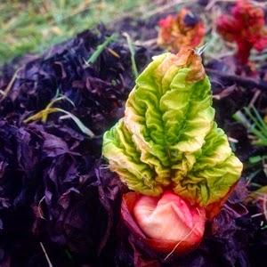 british allotment rhubarb